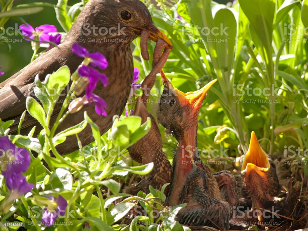 Blackbird babies and mother with huge dinner stock photo