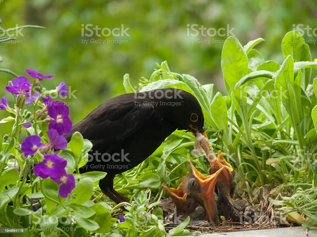 Blackbird babies and weird worm from father stock photo