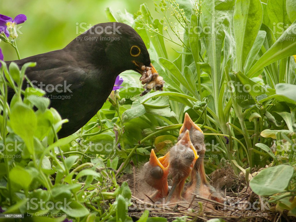 Blackbird babies and worm from father royalty-free stock photo