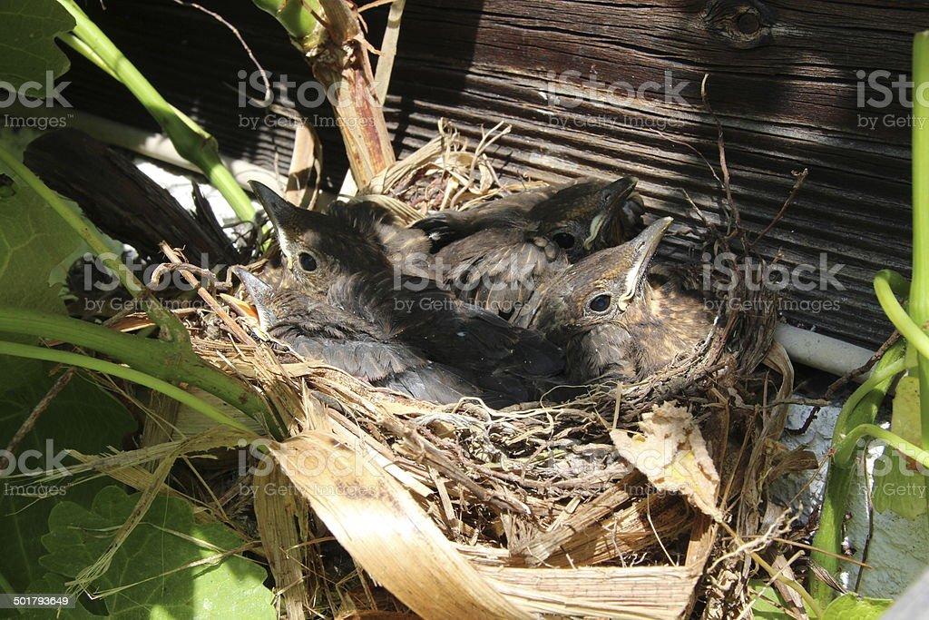 Blackbird Babies in their Nest, Turdus Merula, Amsel stock photo