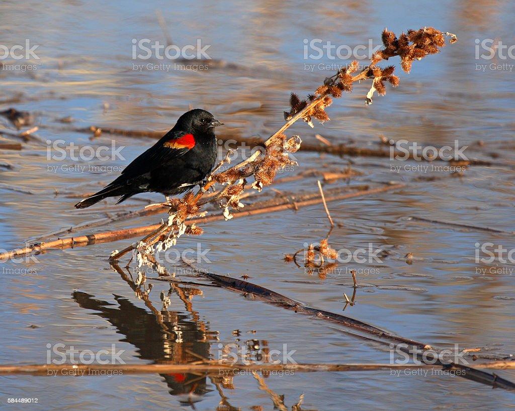 Blackbird Burry Perch stock photo