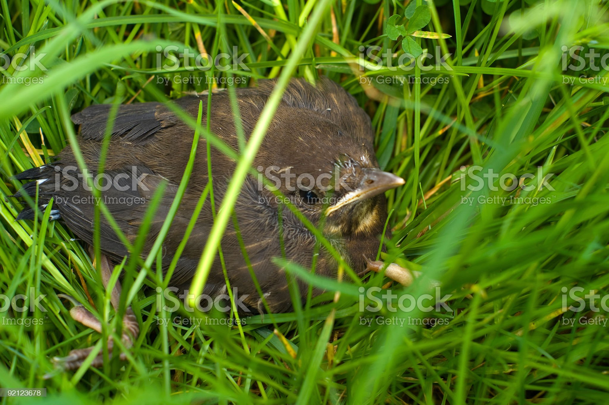 Blackbird Chick in long grass royalty-free stock photo