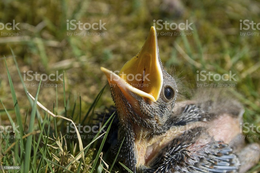 Blackbird chick with open mouth stock photo