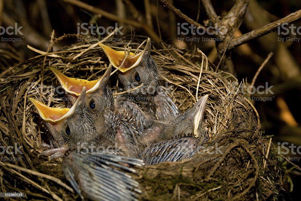 Blackbird chicks stock photo