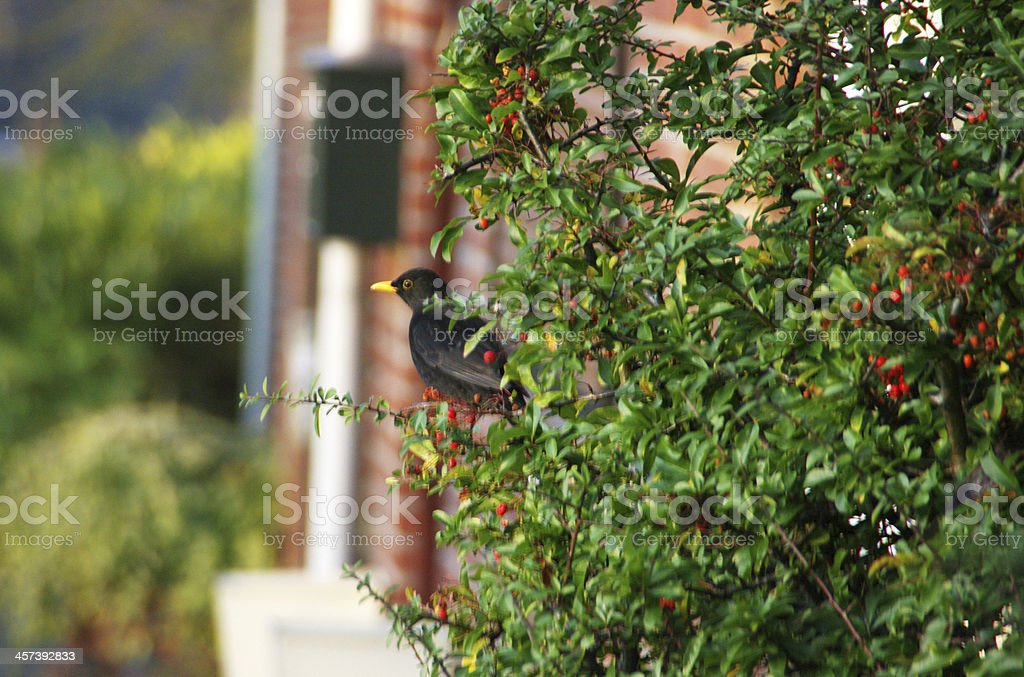 Blackbird eating winter berry's royalty-free stock photo
