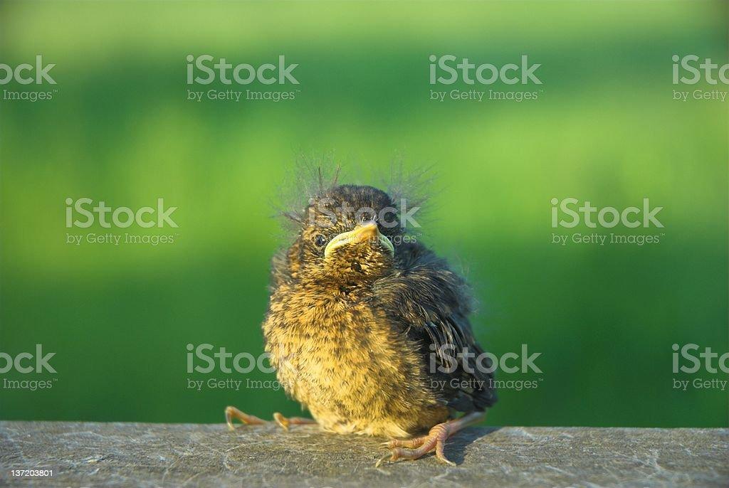 Blackbird Fledgeling royalty-free stock photo