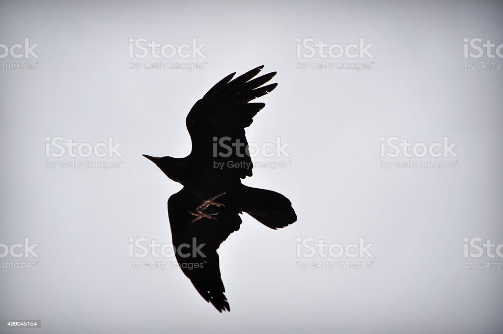 Blackbird Flying Above With Bright Feet stock photo