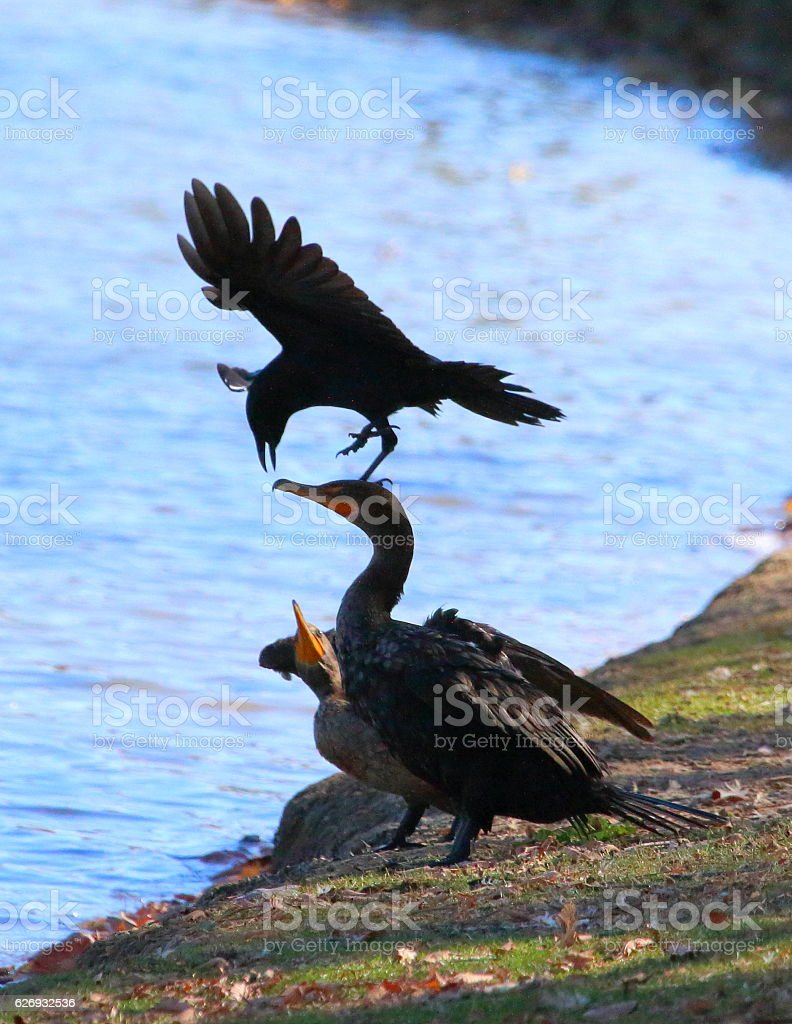 Blackbird Harassing Double-Crested Cormorants stock photo