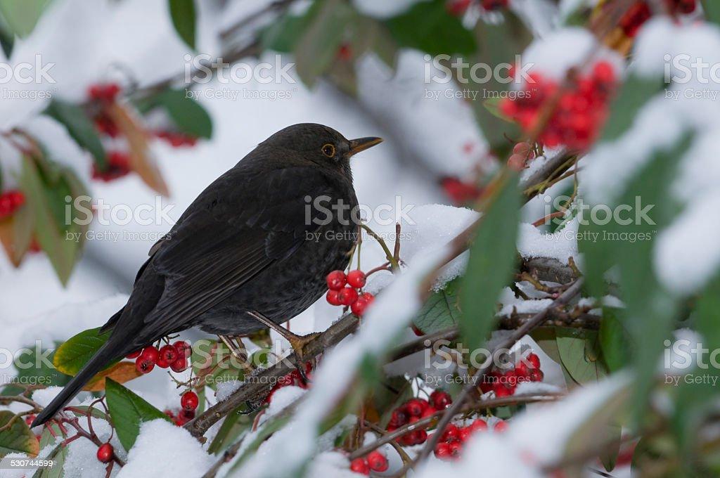 Blackbird hen and red berries of Rockspray cotoneaster in winter stock photo