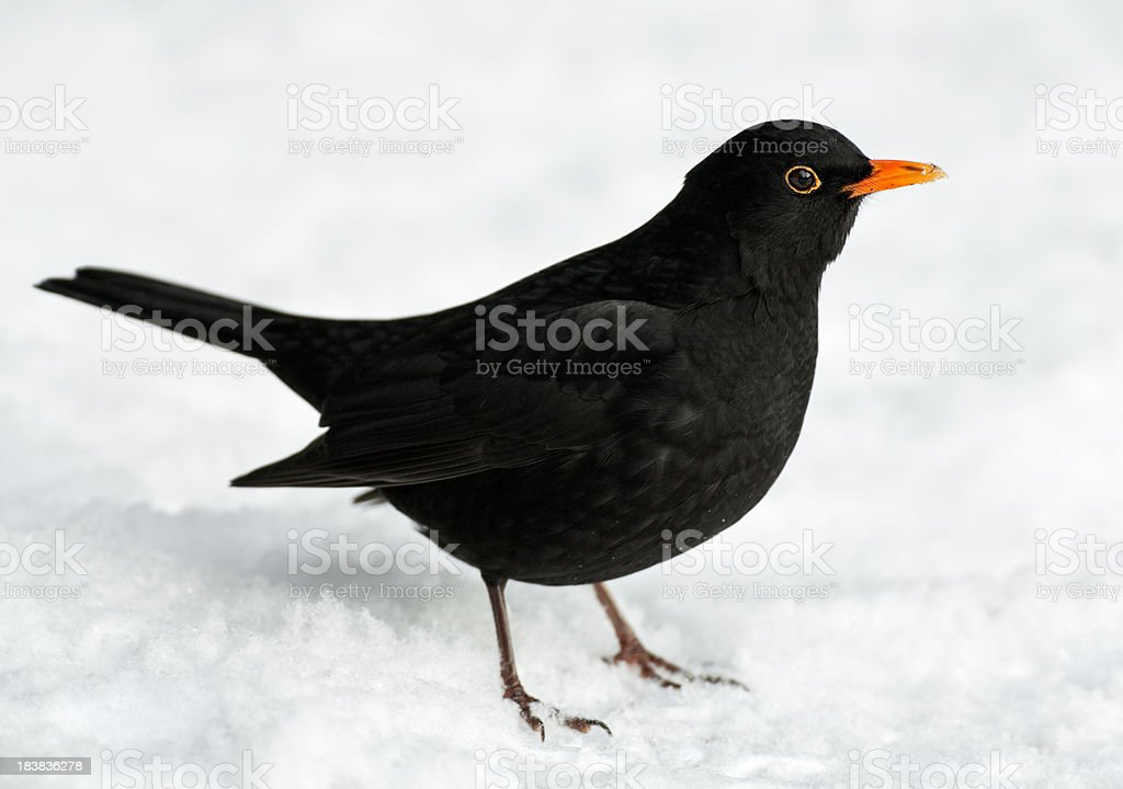 Blackbird In Winter royalty-free stock photo