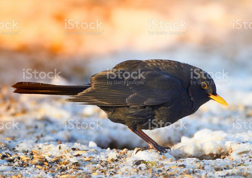 Blackbird in wintertime at sunset stock photo