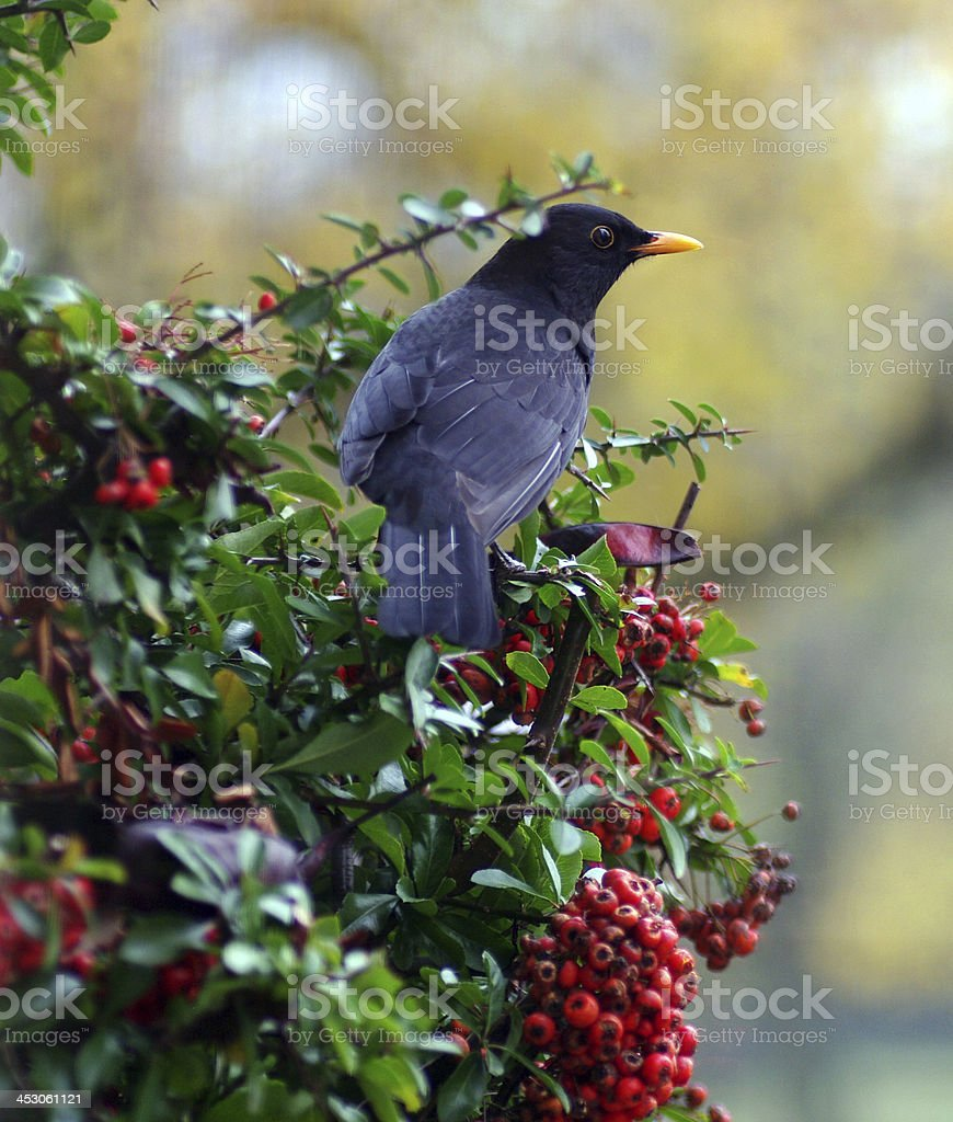 Blackbird looking for berry's royalty-free stock photo