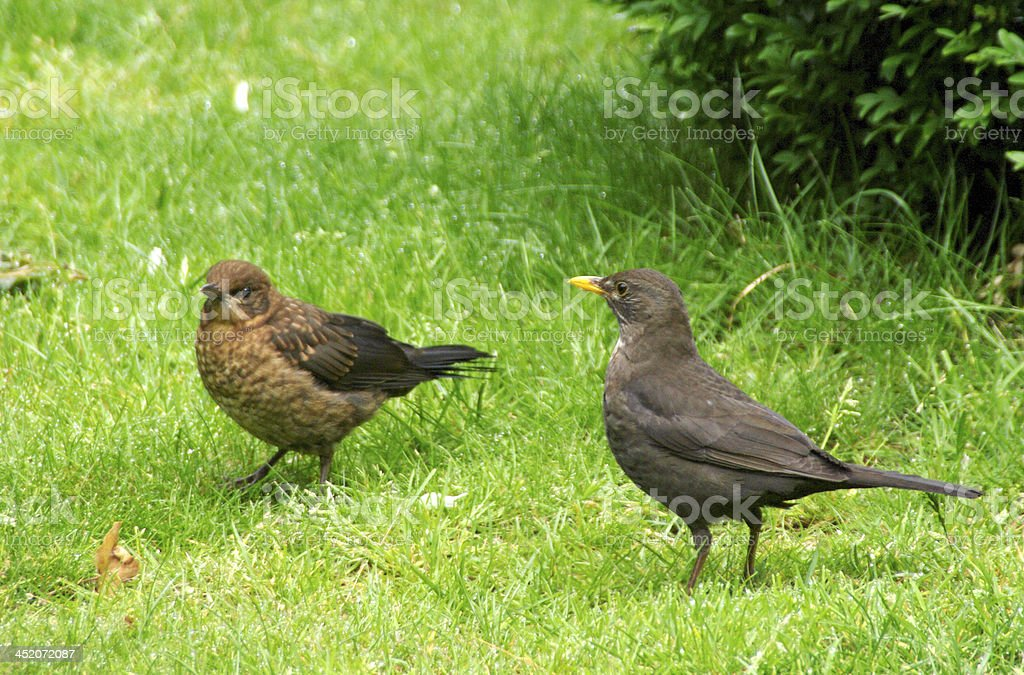 Blackbird mother with young royalty-free stock photo