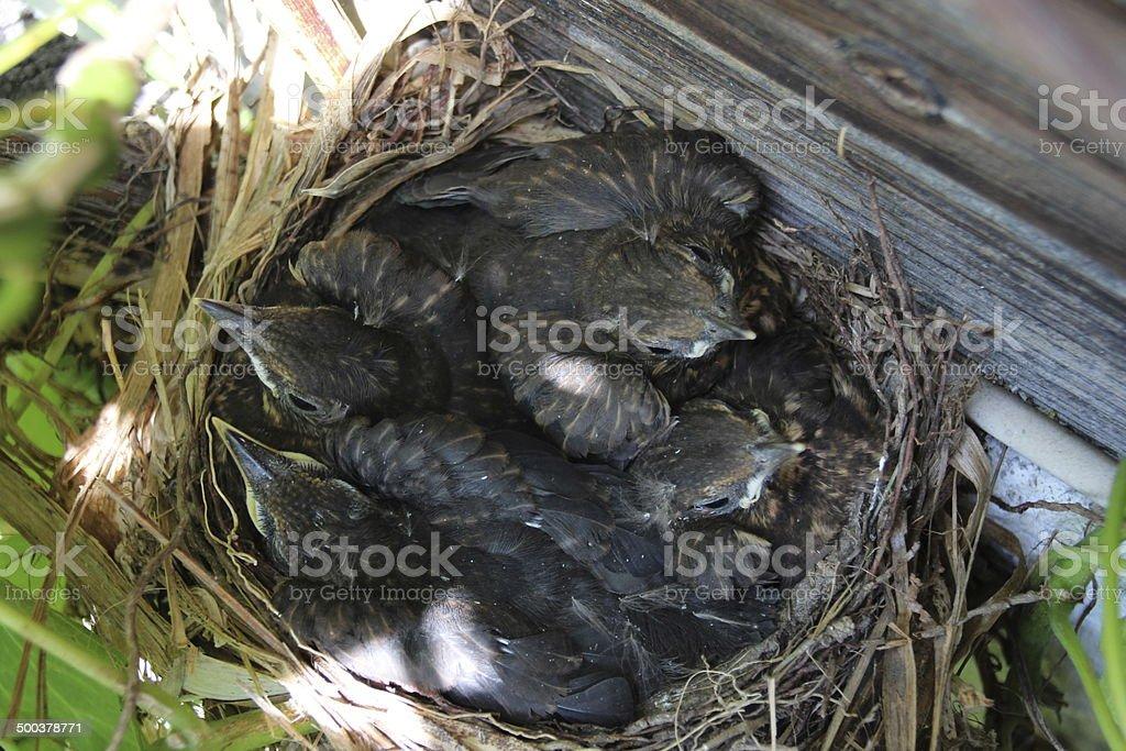 Blackbird Nest with Babies, Turdus Merula, Amsel stock photo