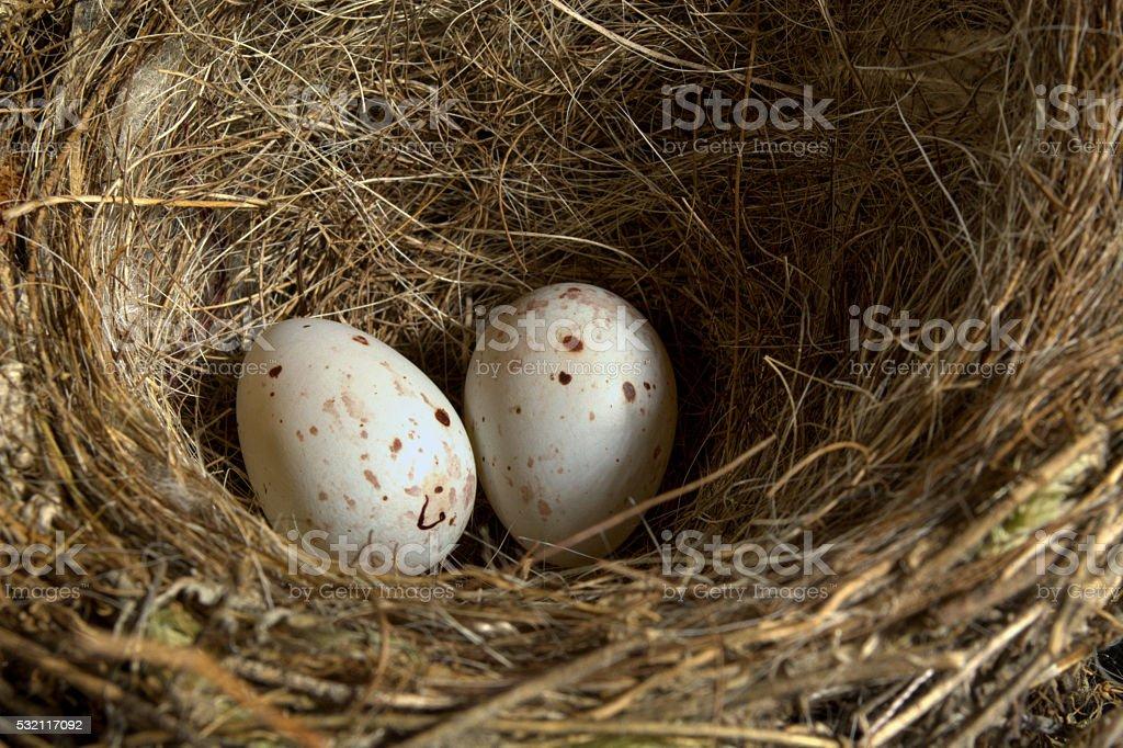 Blackbird Nest with Two Eggs stock photo
