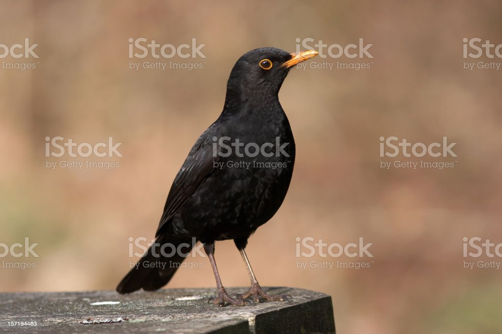 Blackbird on bench royalty-free stock photo