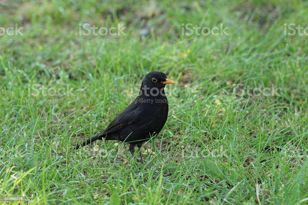blackbird on green grass stock photo