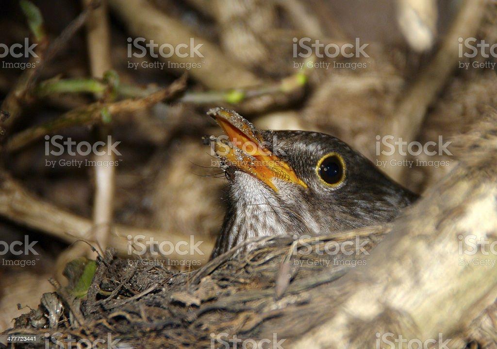 Blackbird on here nest royalty-free stock photo