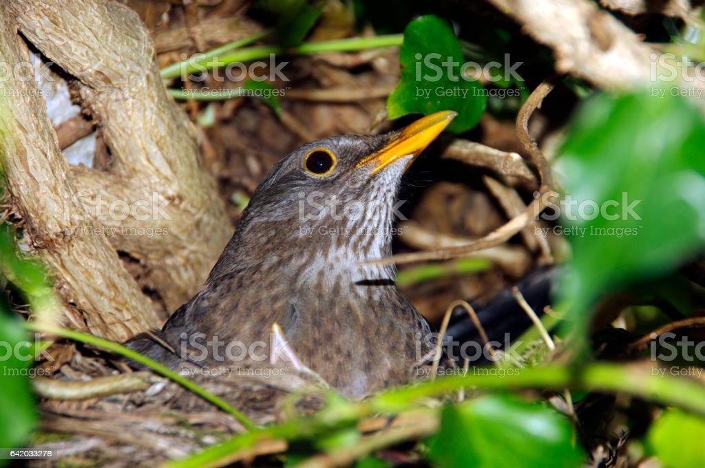 Blackbird on here nest stock photo