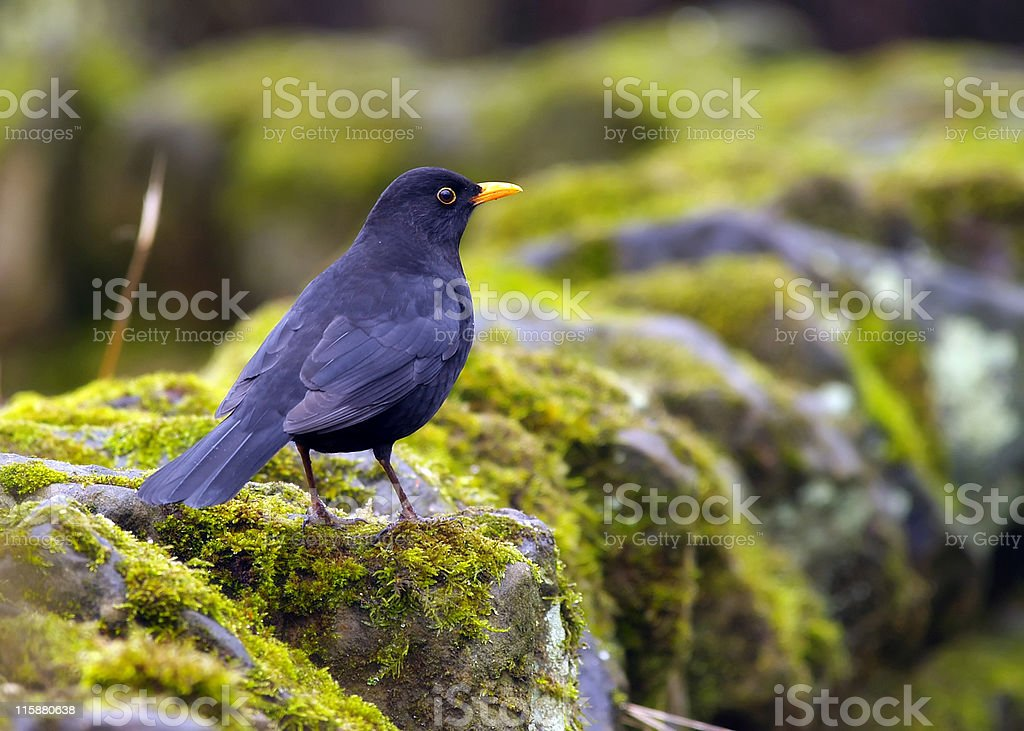 Blackbird (Turdus merula) royalty-free stock photo