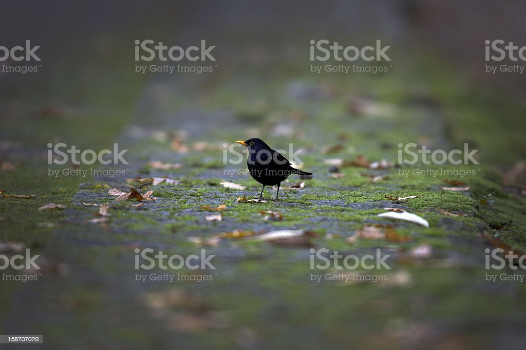 Blackbird royalty-free stock photo