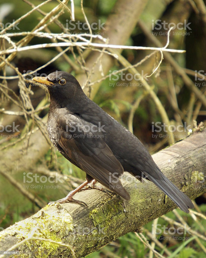 Blackbird (Turdus merula) stock photo