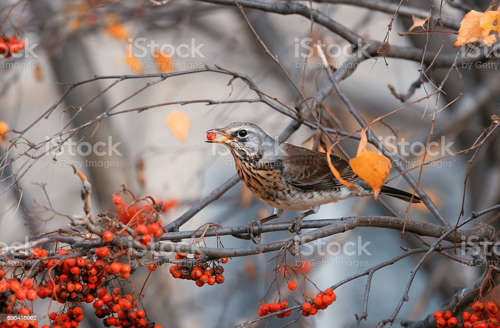 Blackbird sits in a Park and eating Rowan berries stock photo