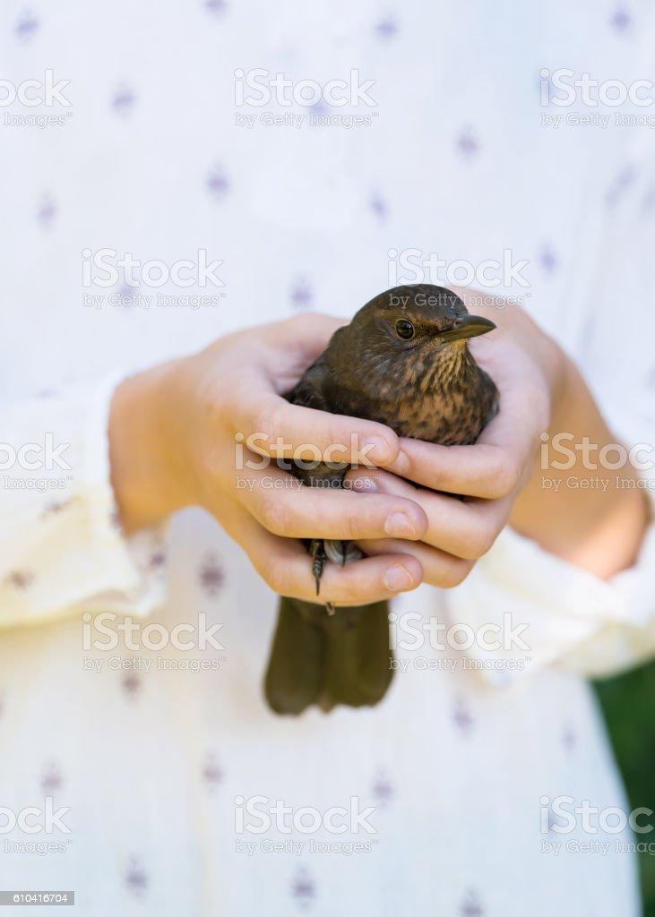 Blackbird sitting in children`s hand. stock photo