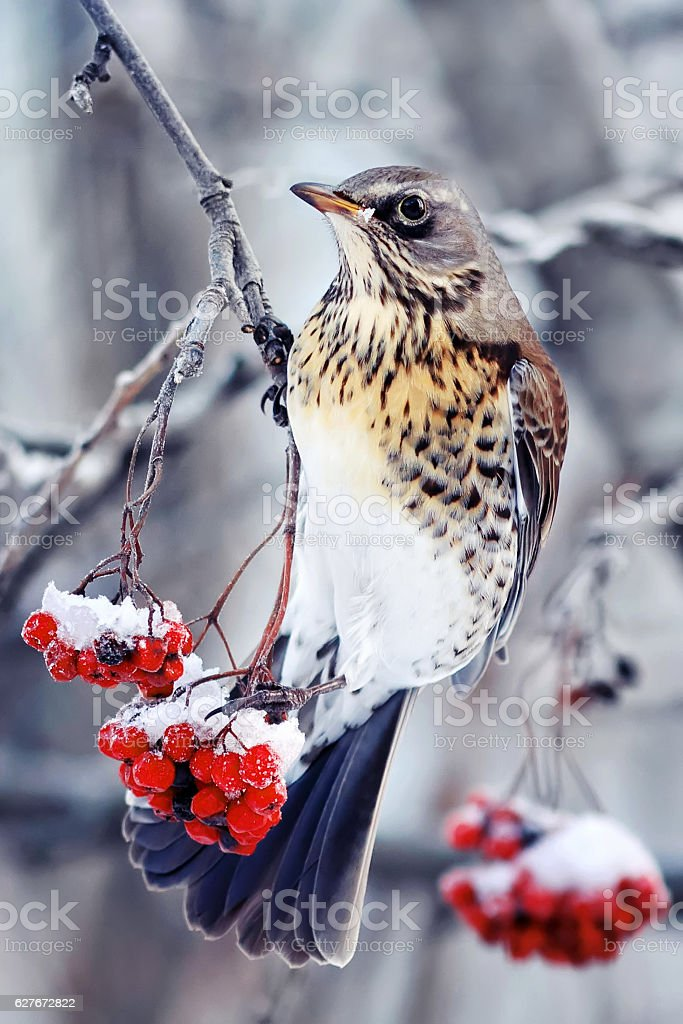Blackbird sitting on a branch of juicy red ash stock photo