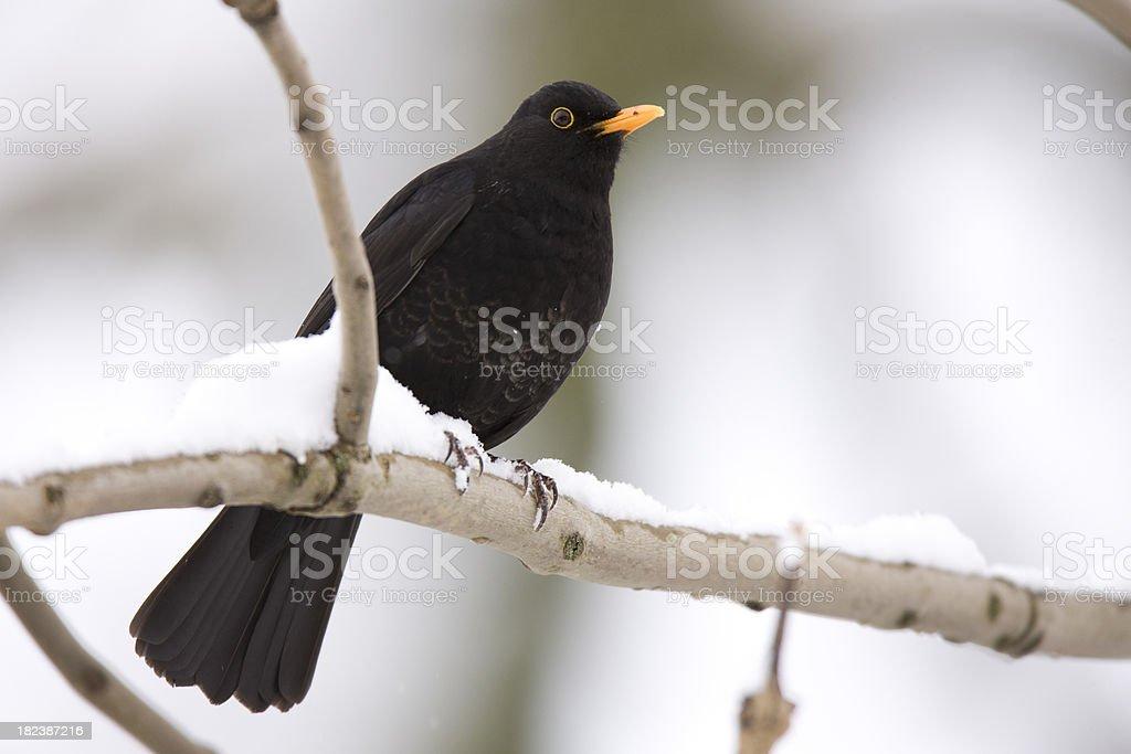 Blackbird Snow Scene royalty-free stock photo