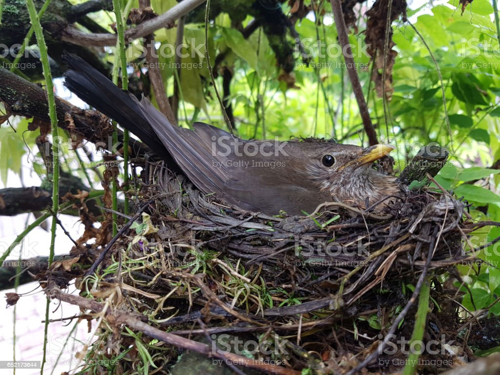 Blackbird, Turdus, merula stock photo