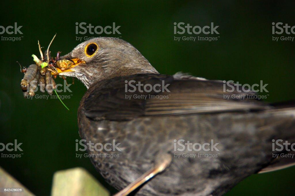 Blackbird with a full beak stock photo