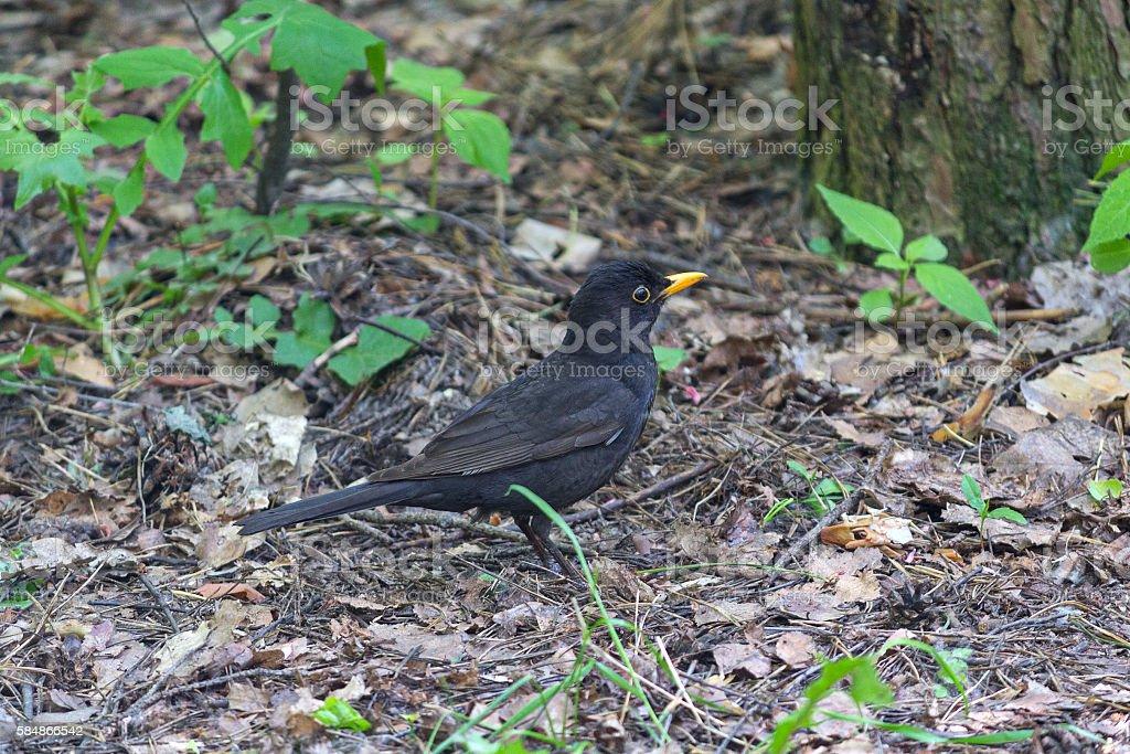 Blackbird with a yellow beak on the ground. Birds stock photo