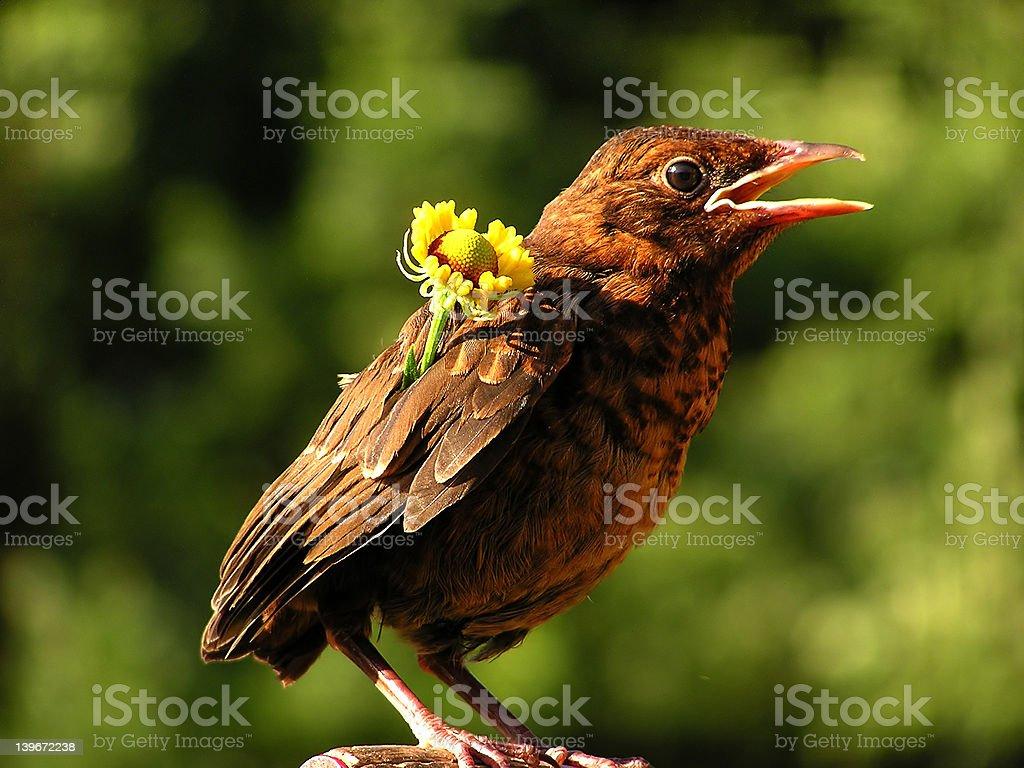 Blackbird with flower royalty-free stock photo