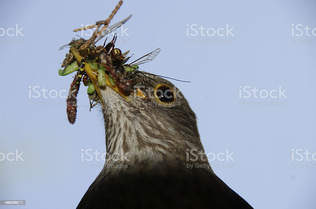 Blackbird with food for here young stock photo
