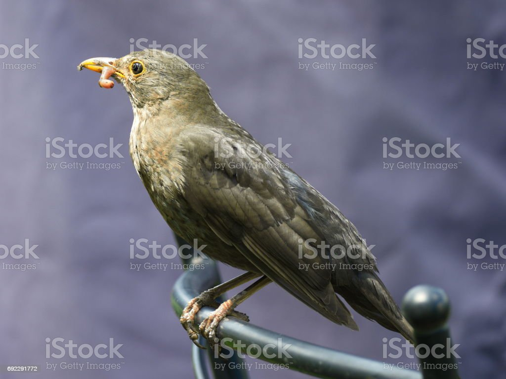 Amsel mit Wurm - Blackbird with worm stock photo