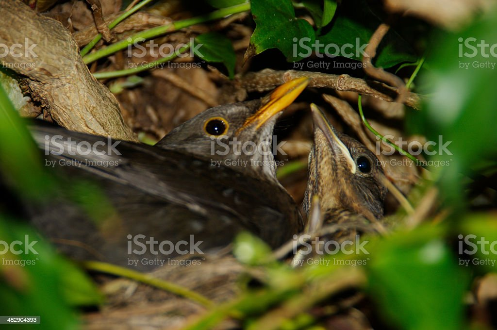 Blackbird with young stock photo