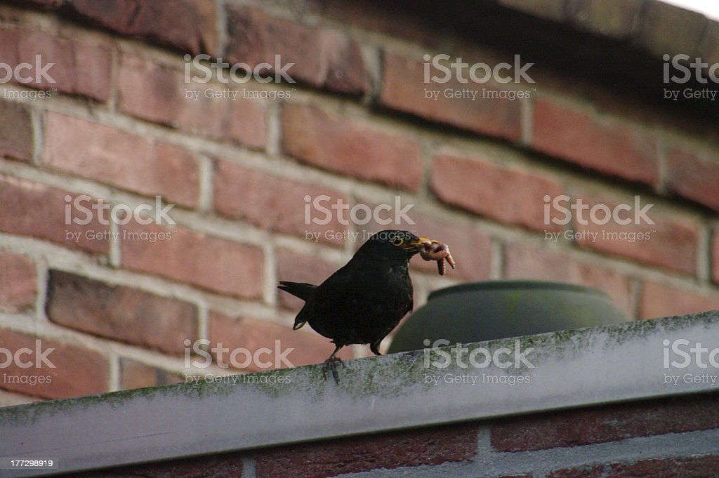 Blackbird working for the baby's royalty-free stock photo