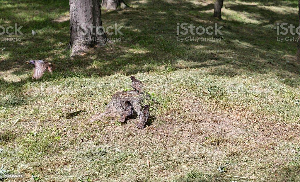 blackbirds group on a stump stock photo