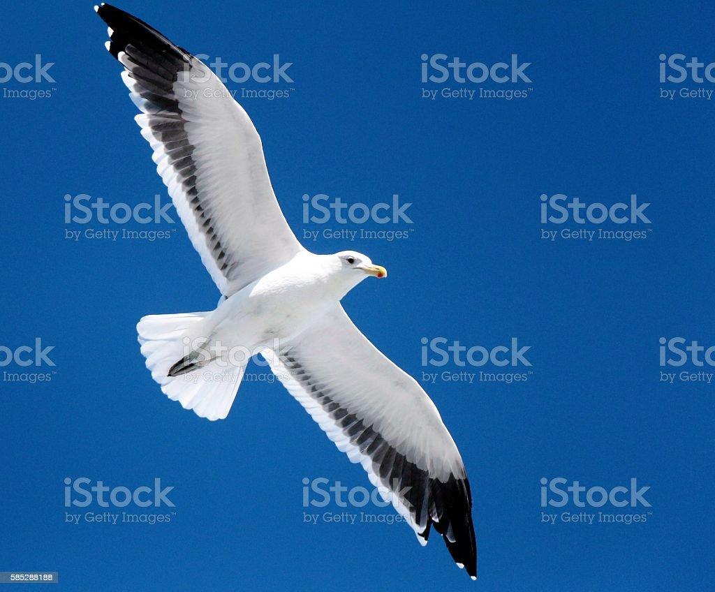Black-browed Albatros stock photo
