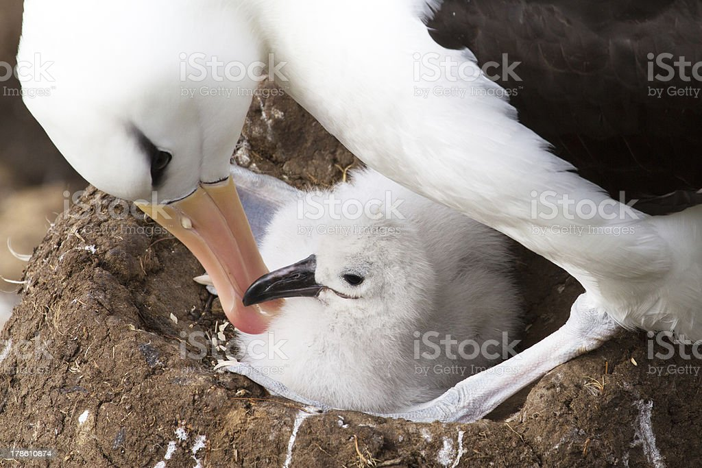 Black-browed Albatross and her chick stock photo