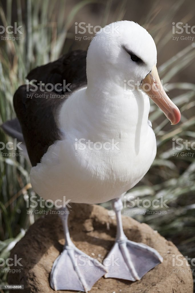 Black-Browed Albatross, Falkland Islands stock photo