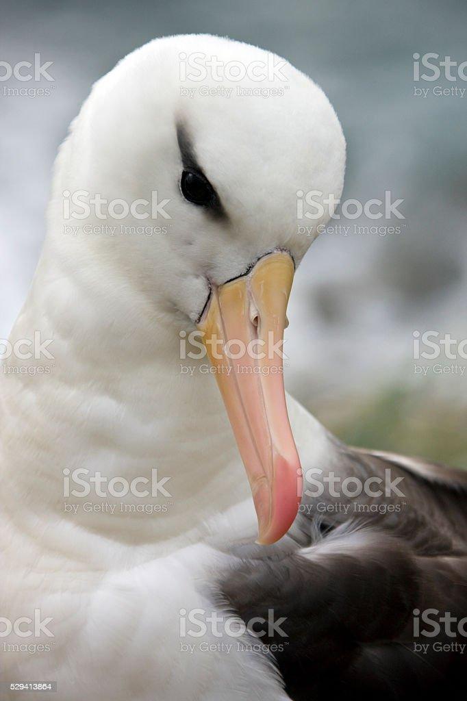 Black-browed Albatross - Falkland Islands stock photo