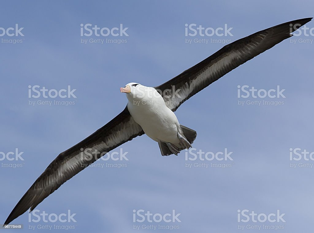 A black-browed albatross flying high over the blue sky stock photo