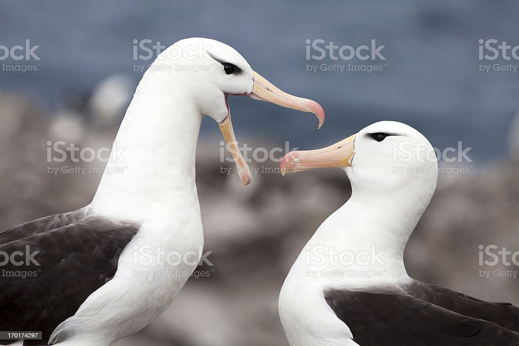 Black-Browed Albatross Pair, Falkland Islands stock photo