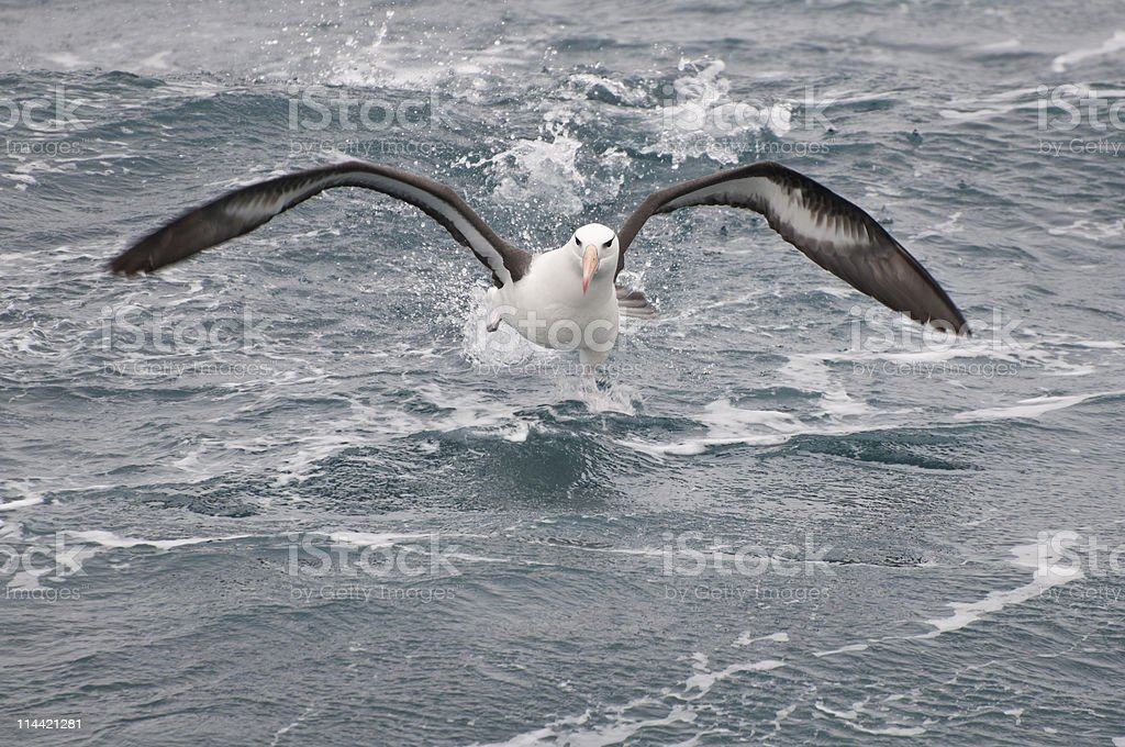 Black-browed albatross stock photo