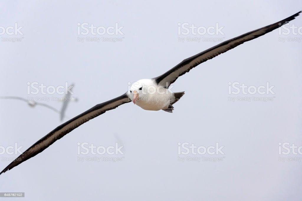 Black-Browed Albatrosses in Flight on the Falkland Islands stock photo
