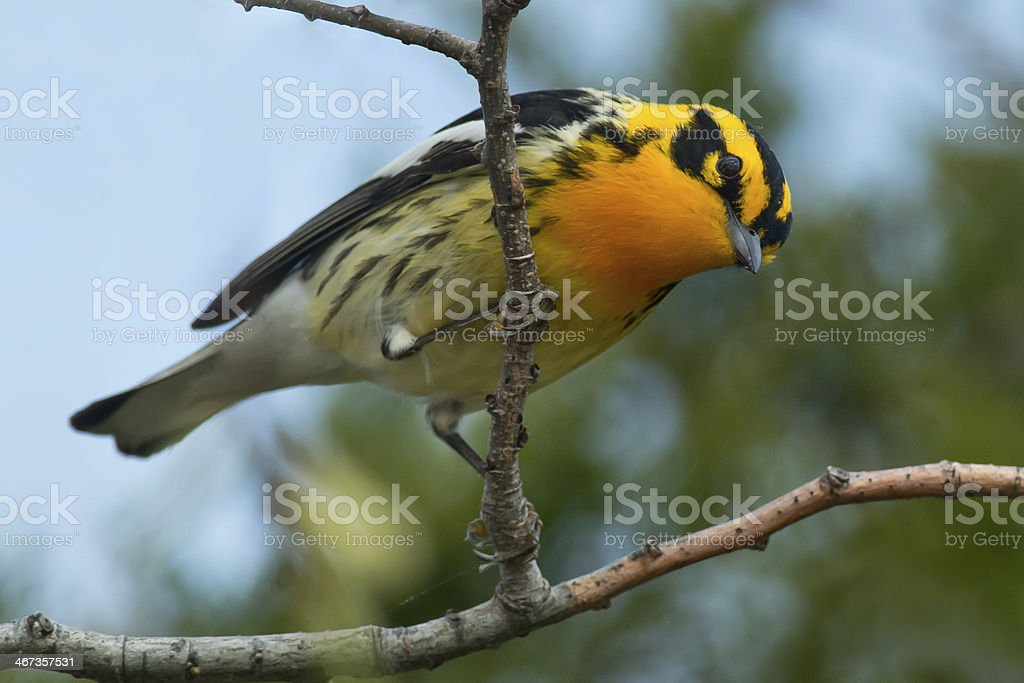 Blackburnian Warbler royalty-free stock photo