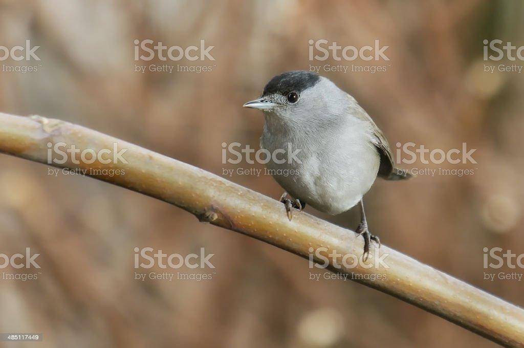 blackcap  on a branch stock photo
