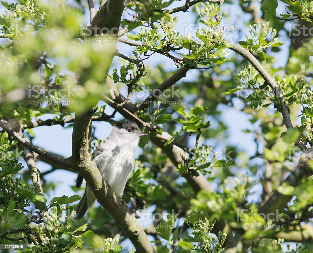 Blackcap Warbler (Sylvia atricapilla) stock photo